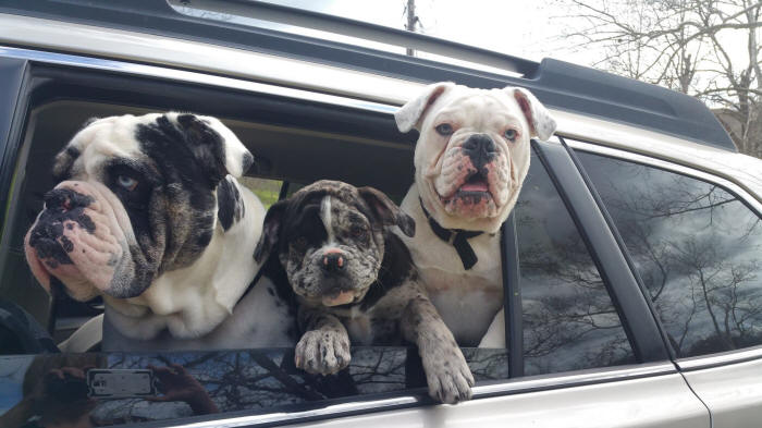 exotic merle olde english bulldogges riding in car