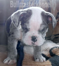 blue merle olde english bulldogge puppy for sale
