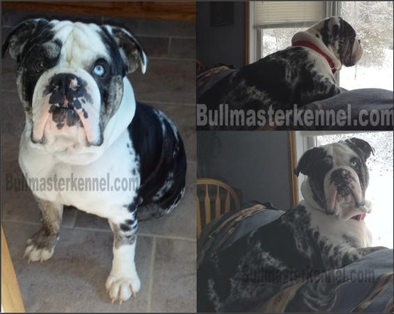 blue merle olde english bulldogge male stud