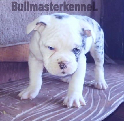 blue merle tri olde english bulldogge female with blue eye